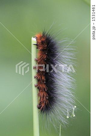 クマケムシ 毛虫 茶色の写真素材