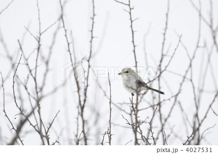 大百舌 渡り鳥の写真素材 - PIXT...