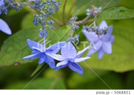 花 紫陽花 青紫 八方美人の写真素材 Pixta