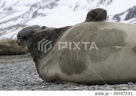 アザラシ科の写真素材 - PIXTA