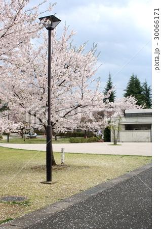 城山公園 街灯と桜