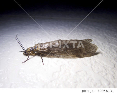 ヘビトンボ科の写真素材 - PIXTA