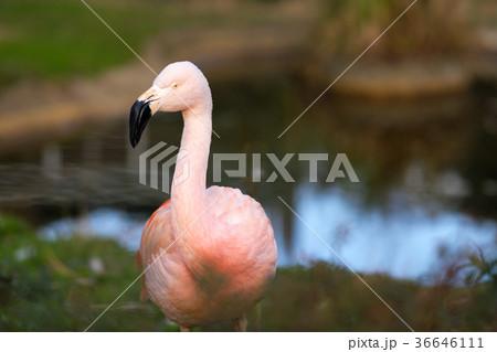 フラミンゴ科の写真素材 - PIXTA